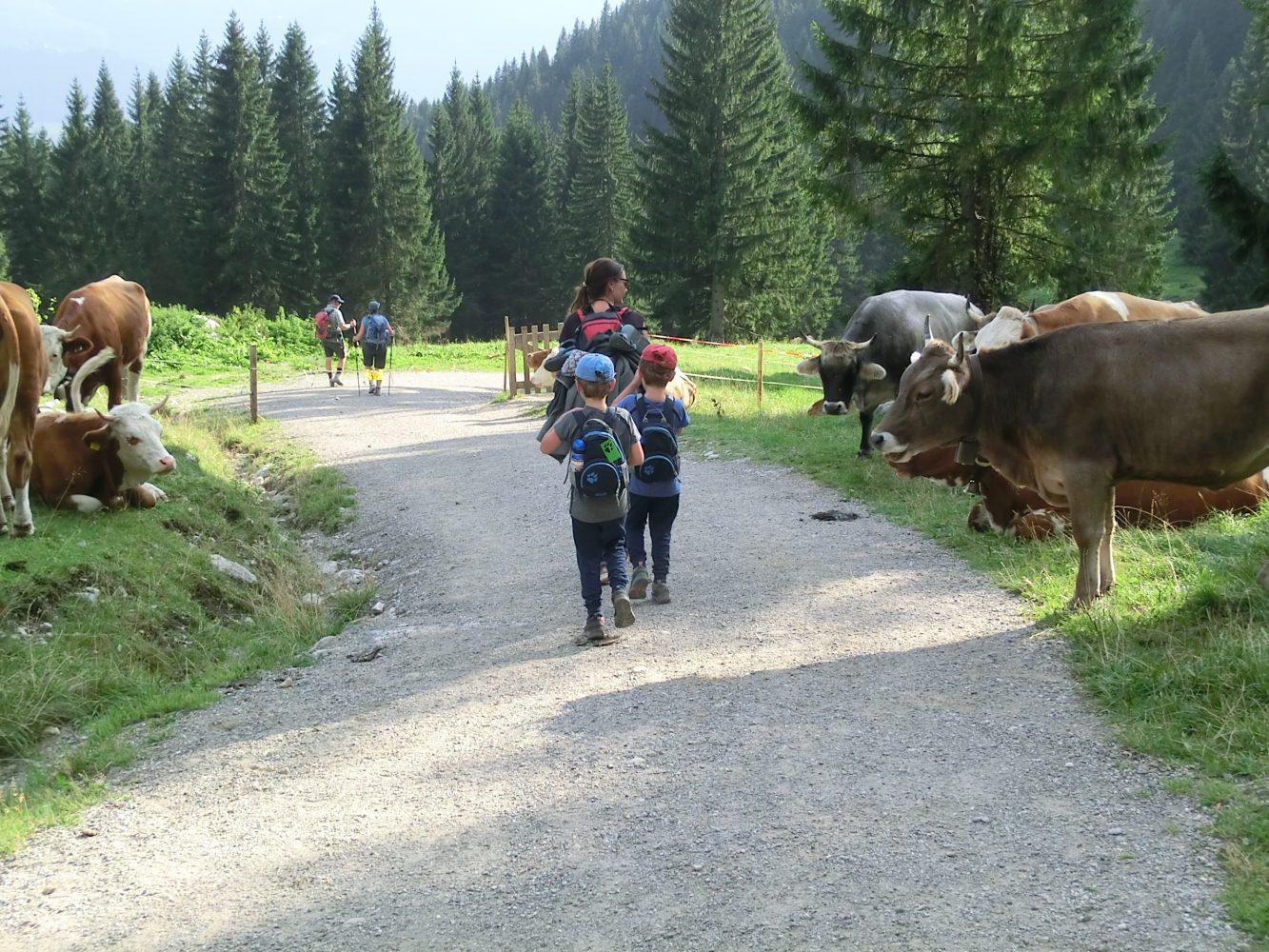 mitten durch die friedlich grasende Kuhherde